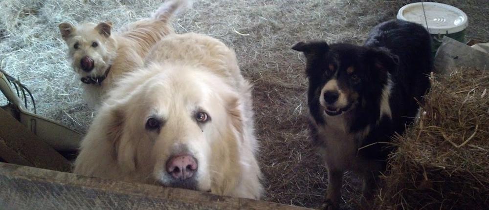 Apple Creek Farm canines