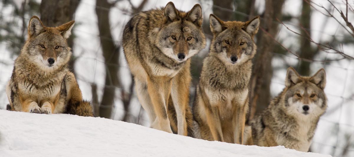 coyote family