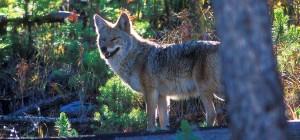 coyote3