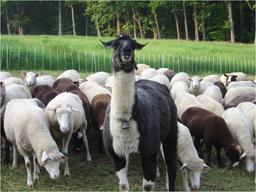 llama with sheep