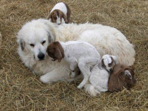 Pyr with baby goats
