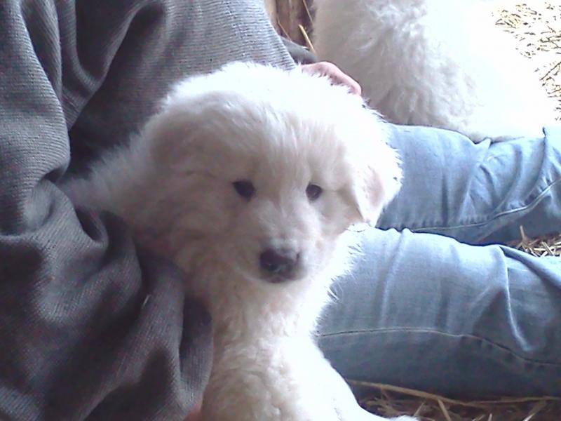 Maremma Puppy photo by Windance Farm