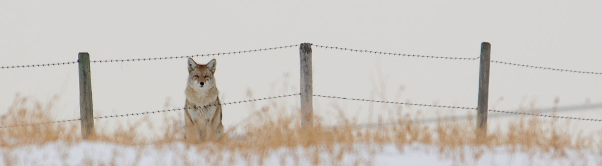 coyote-at-fence