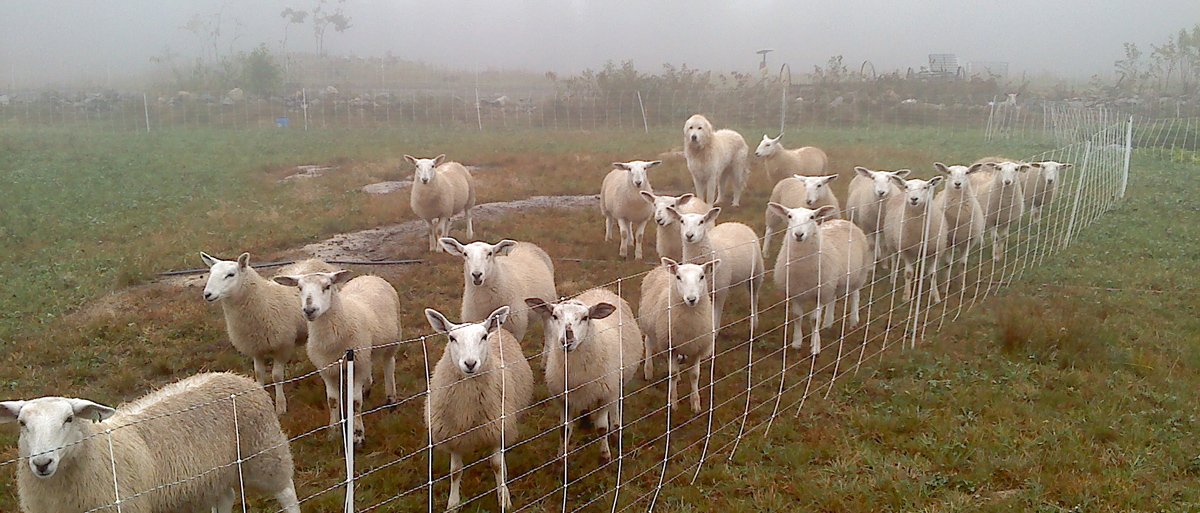 dog-and-sheep-in-fog