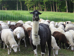 llama with sheep