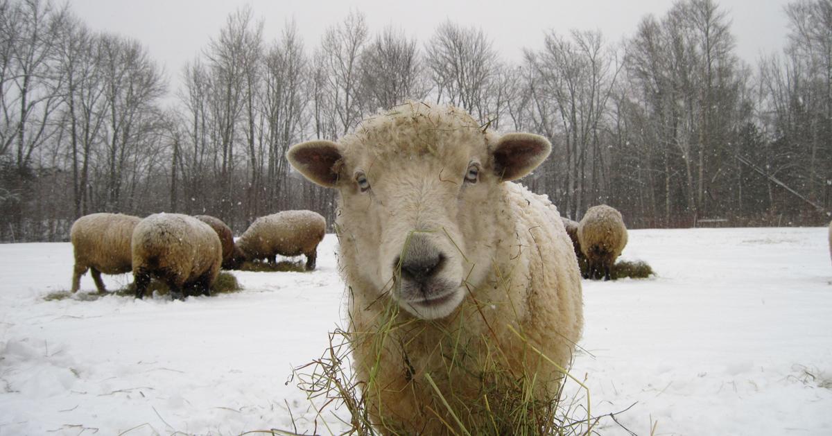 Myra the sheep