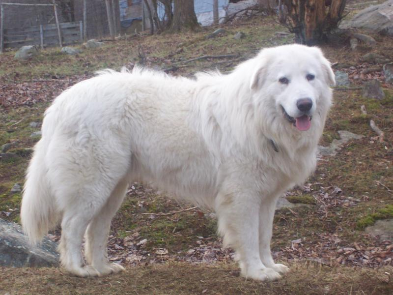 Crisco, Adult Maremma, Windance Farm