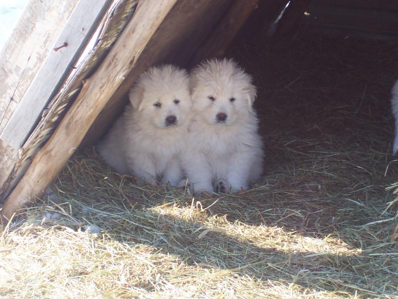 Windance Farm Maremma Puppies